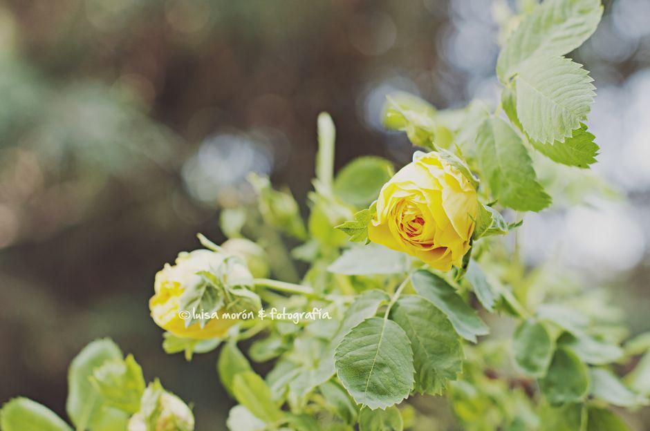 rosas-1-blog
